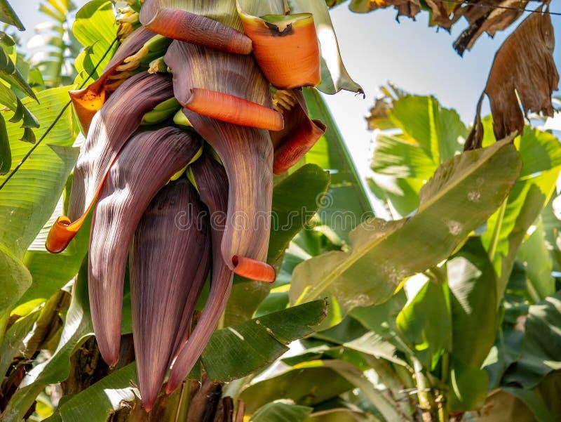 Close up of a older banana kernel stock photo