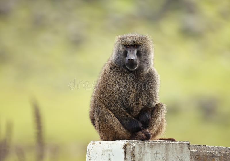 Olive baboon sitting on concrete post royalty free stock photography