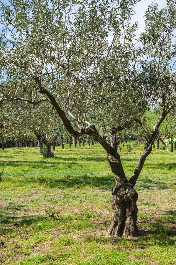 Close-up of olive tree in spring in a park in Madrid, Spain. In Vertical royalty free stock images