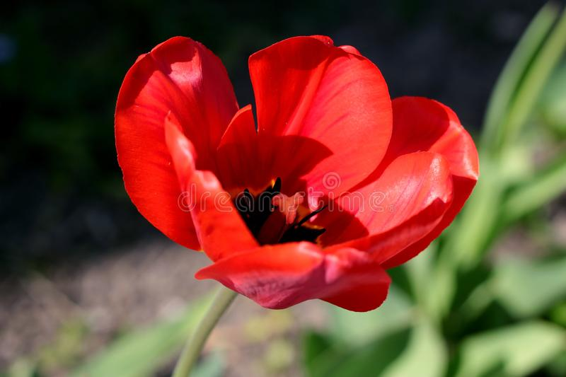 Close-up on one big red flower tulip. Blur effect stock photography