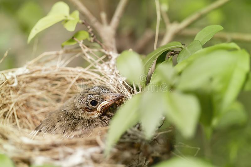 Close up one cute baby light brown bird is in the nest in the bush alone.  stock photo