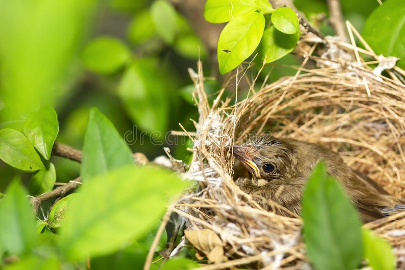 Close up one cute baby light brown bird is in the nest in the bush alone.  royalty free stock images