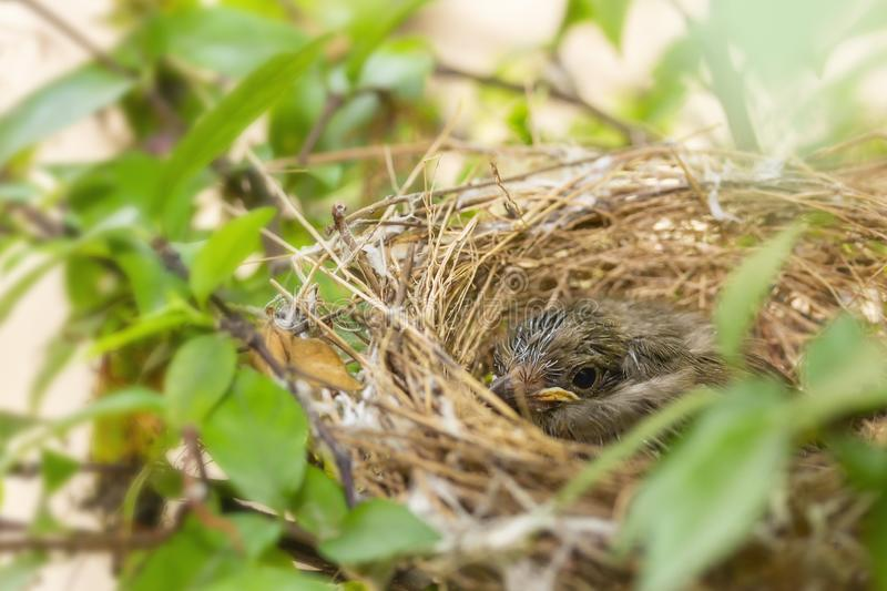 Close up one cute baby light brown bird is in the nest in the bush alone.  stock photography