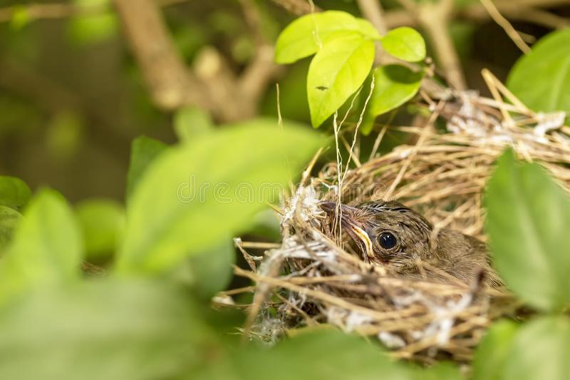 Close up one cute baby light brown bird is in the nest in the bush alone.  stock images