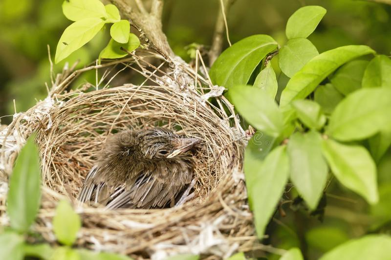 Close up one cute baby light brown bird is in the nest in the bush alone.  stock photos