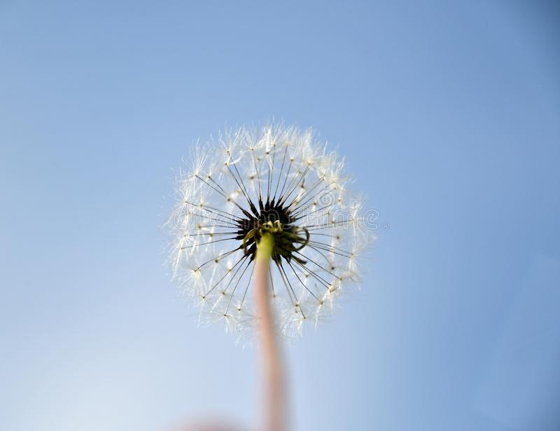 Close up, one dandelion flower with white seeds. Seen from below stock image