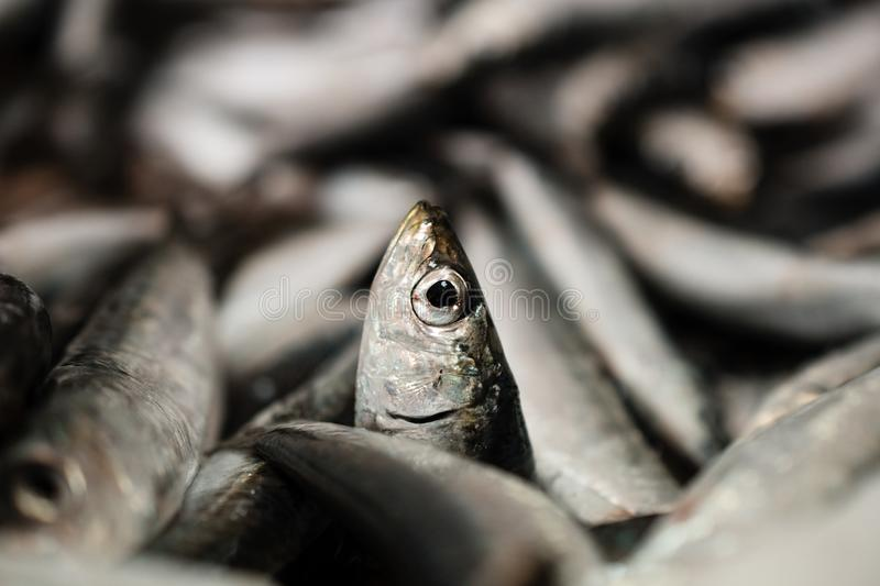 Close-Up Of One European Sardine Or Sardina Pilchardus In A Larger Pile Of Freshly Caught Sardines Lined Up For Sale In Greek Fish. A close-up of one European stock images