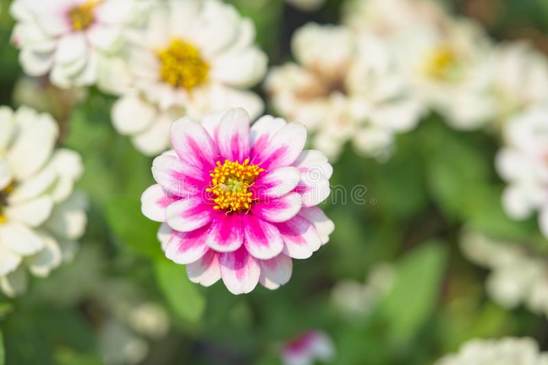 Close up one large pink and white flower blossom, Green leaves are surrounding the flower. stock photos