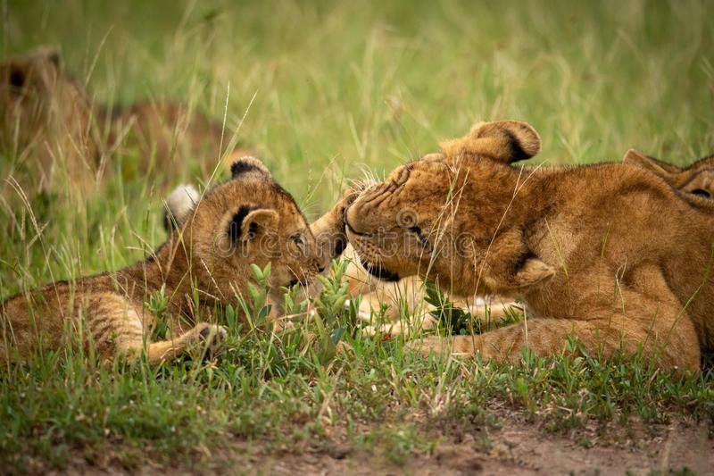Close-up of one lion cub slapping another stock photos