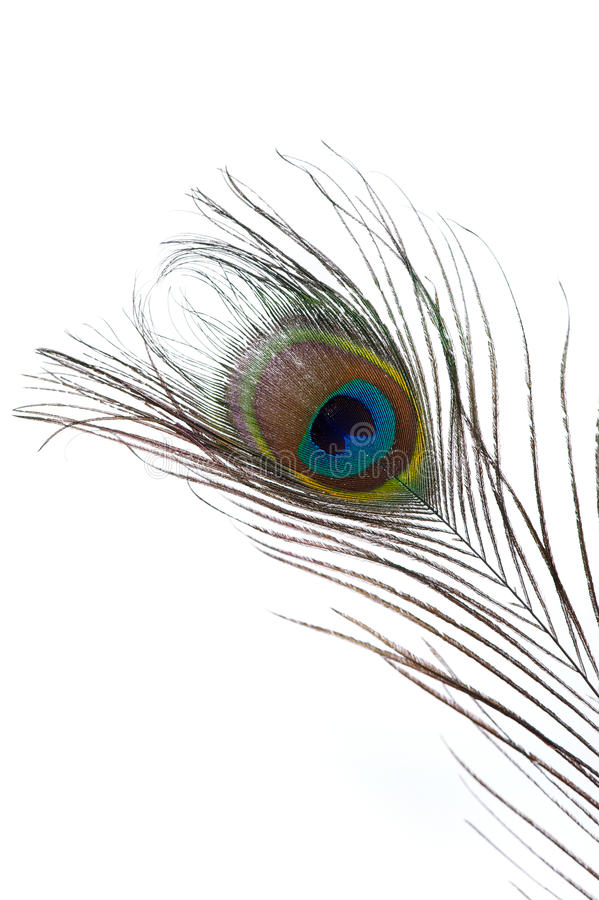 Peacock Feather Isolated royalty free stock photography