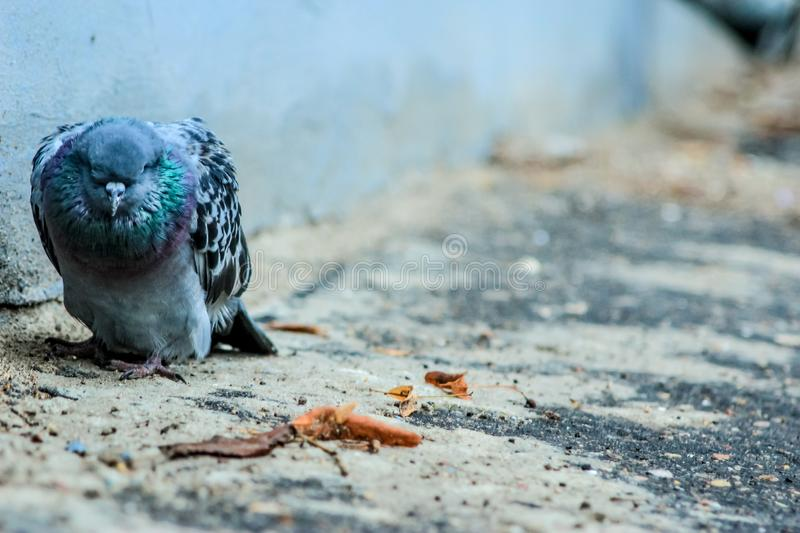 Close-up of one pigeon sick dying in the city yard stock photo