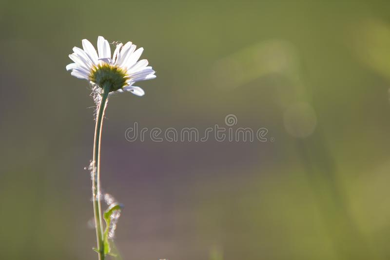 Close-up of one tender beautiful simple white daisy with bright. Yellow hearts lit by morning sun blooming on high stems on blurred foggy soft green background stock images