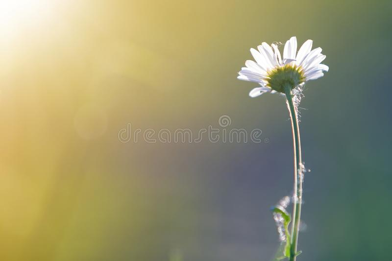 Close-up of one tender beautiful simple white daisy with bright yellow hearts lit by morning sun blooming on high stems on blurred stock photo