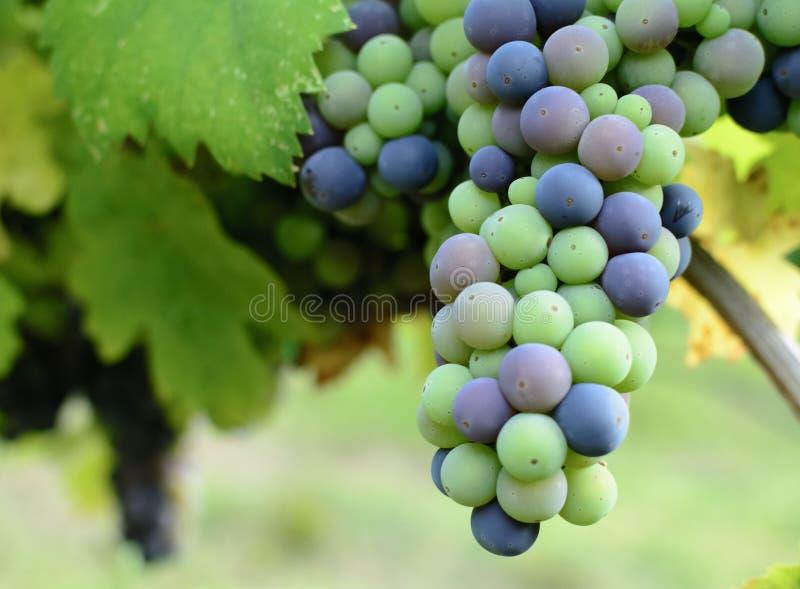 Close-up op een bos van niet gerijpte druiven in een wijngaard royalty-vrije stock foto