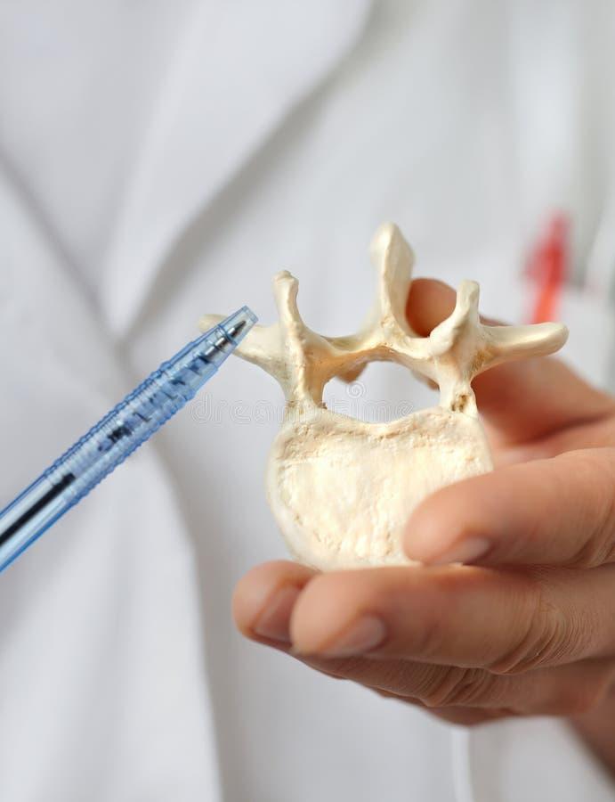 Close-up op een model van menselijke ruggewervel ter beschikking van een dopheidepractiti royalty-vrije stock afbeelding