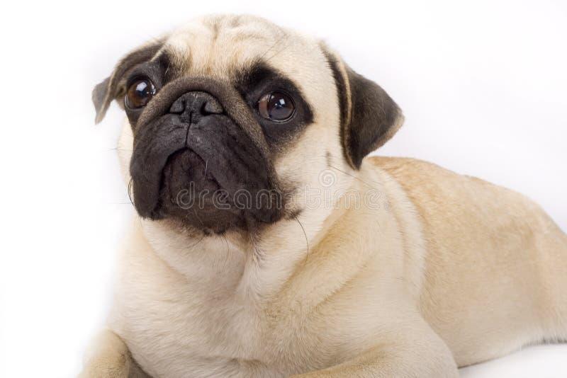 Close-up op een pug puppy stock afbeelding