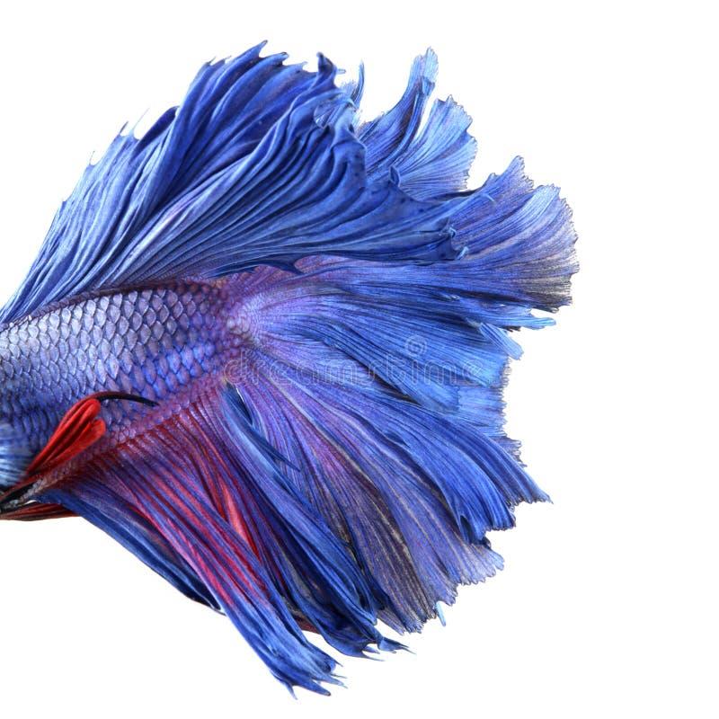 Close-up op een vissenlichaam, het blauwe Siamese vechten royalty-vrije stock foto's