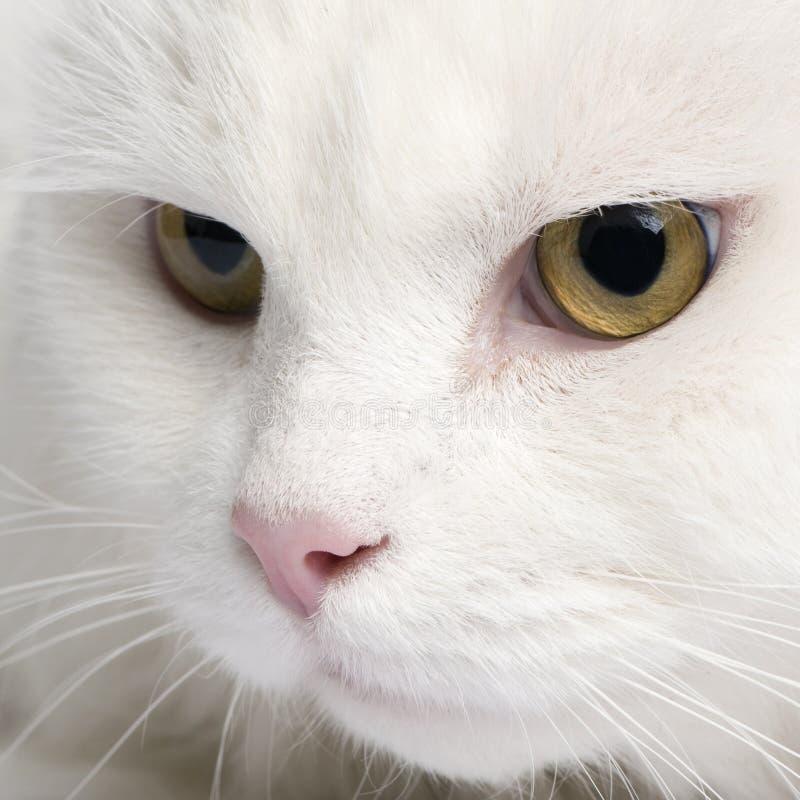 Close-up op een witte angora kat (5 jaar) royalty-vrije stock afbeeldingen