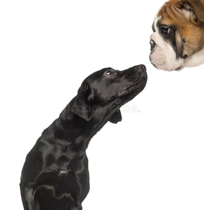 Close-up op een Zwarte Labrador die omhoog een Engelse Buldog bekijken stock afbeelding