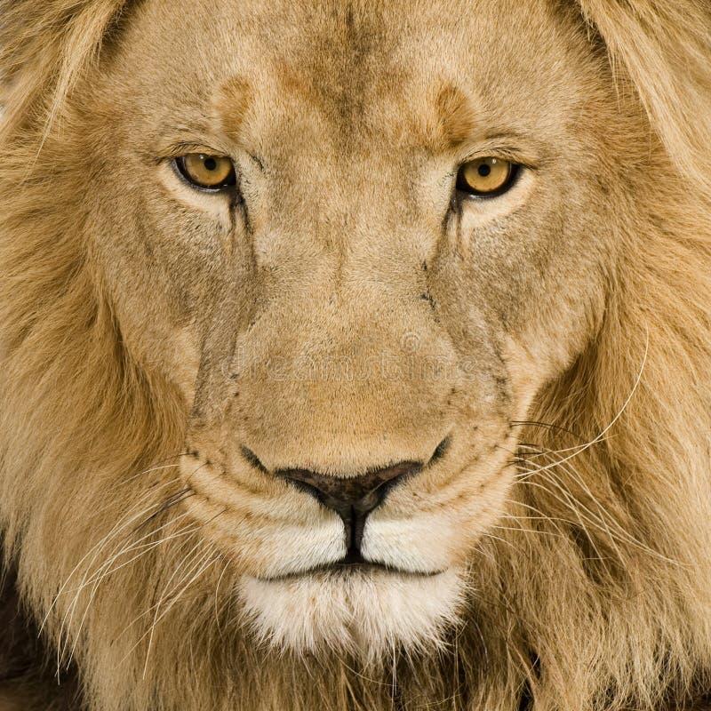 Close-up op het hoofd van een Leeuw (4 en een half jaren) - P stock foto