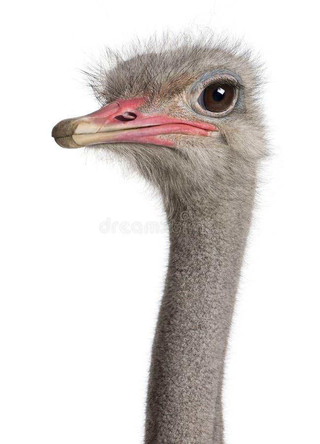 Close-up op het hoofd van een struisvogel stock foto's