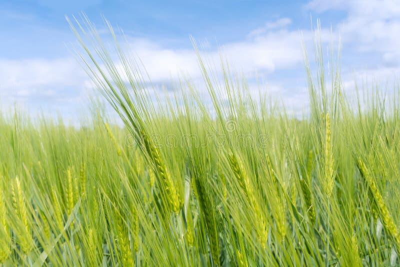 Close-up op jonge groene tarwe royalty-vrije stock afbeelding