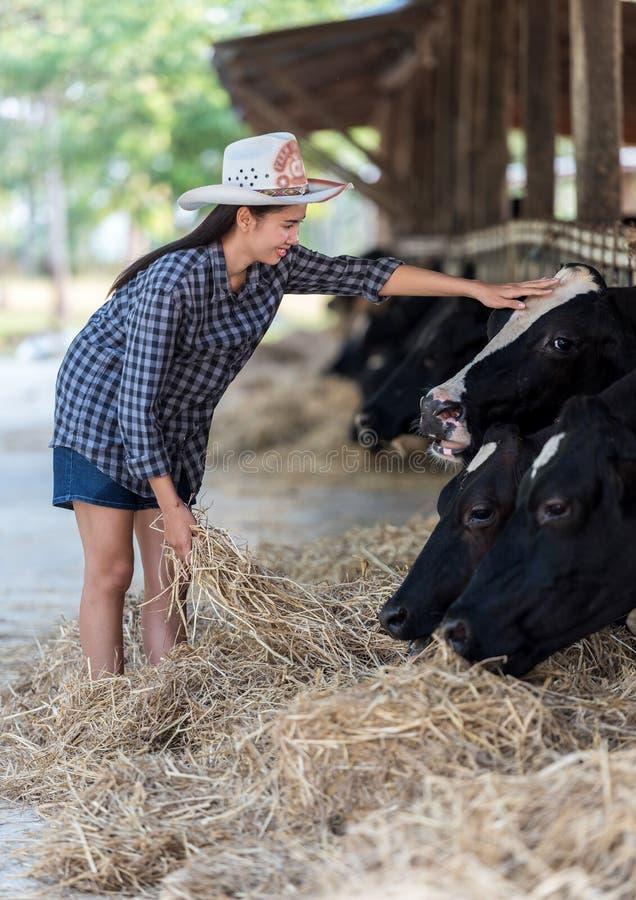 Close-up op koeien die door koeienhoeder worden gevoed royalty-vrije stock fotografie