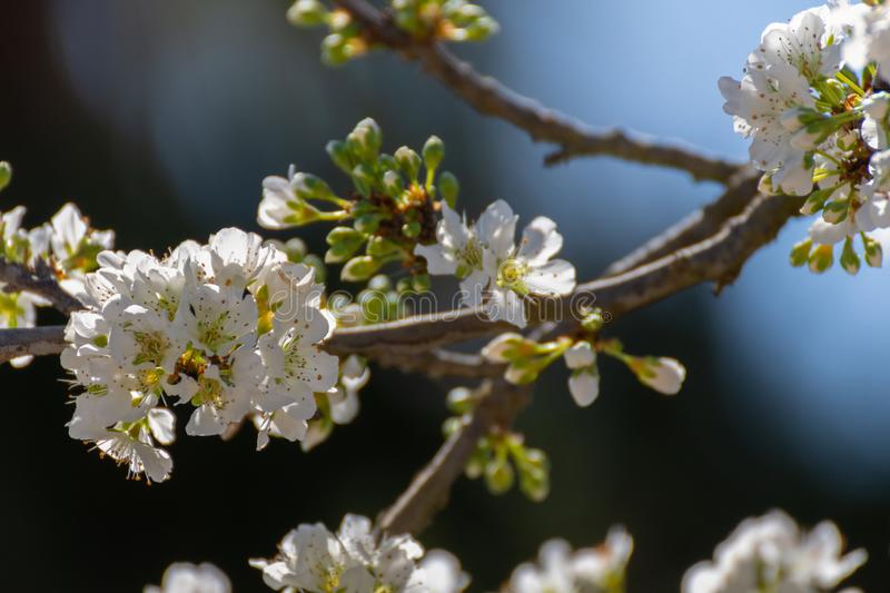 Close-up of open white plum flowers and blur background. Typical spring background royalty free stock image