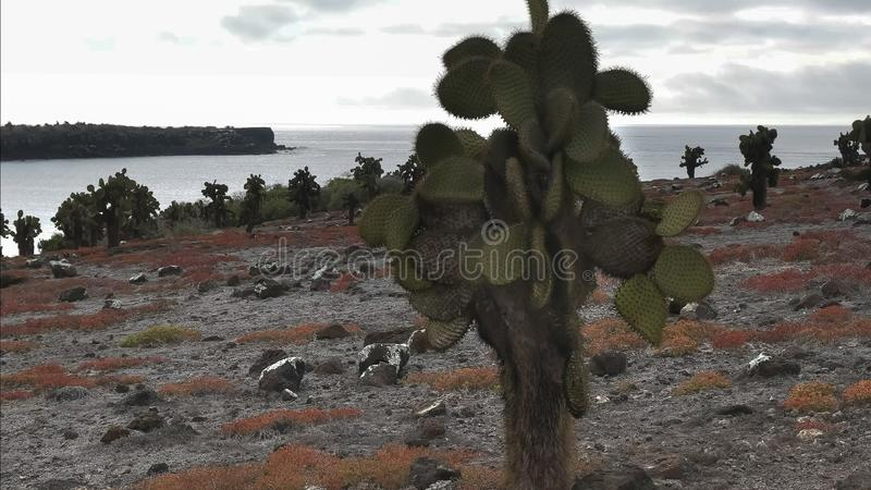 Close up of opuntia cactus on isla sth plazas in the galapagos. Islands royalty free stock photography