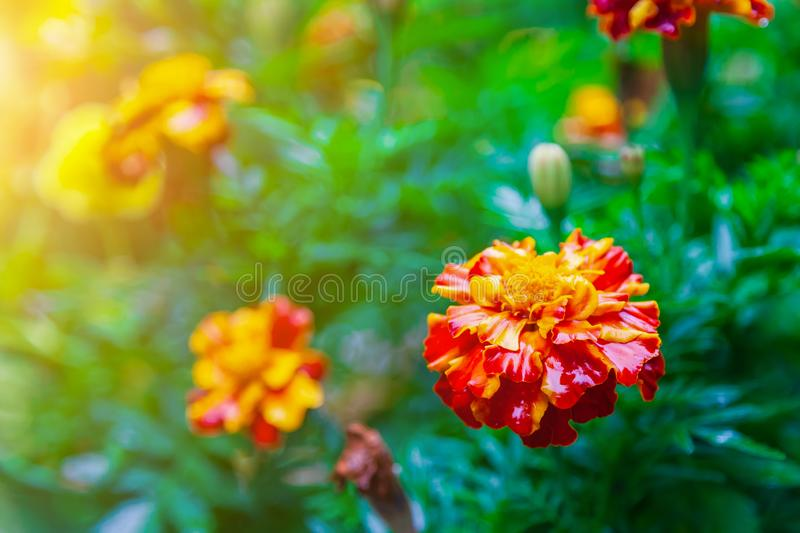 Close-up on orange and carnations flowers on a flowerbed in a garden on a summer or fall day. The symbol of the funeral stock images