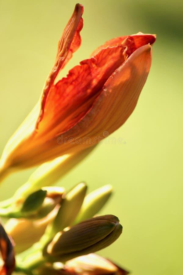 Hemerocallis. Close-up on orange daylily crown, outdoor plants, perennials, petals, sepals, tepals, flower arranging royalty free stock photos