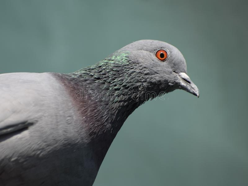 Close up of an orange eyed Pigeon. It is a close up orange eyed Himalayan pigeon. It has green neck and adorable beauty royalty free stock image