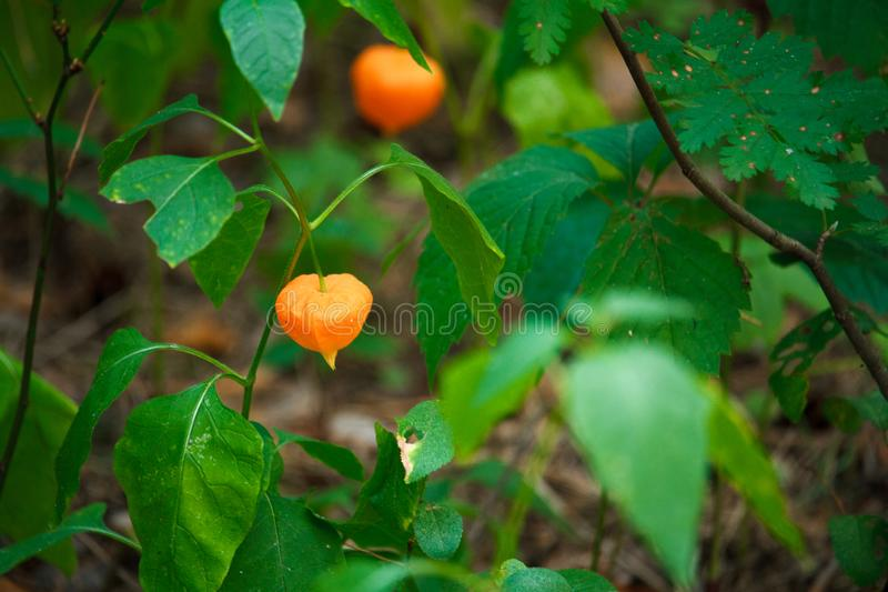 Close-up of orange fezalis flowers on green branches on blurred forest background, selective focus. Close up of orange fezalis flowers on green branches on stock images