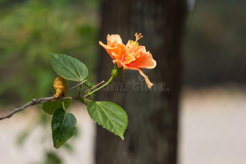 Close up of Orange Hibiscus rosa-sinensis royalty free stock photos