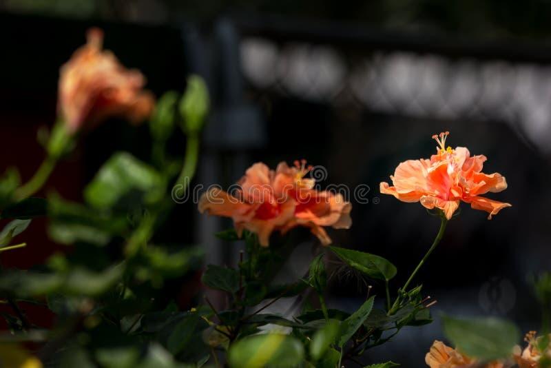 Close up of Orange Hibiscus rosa-sinensis stock photo