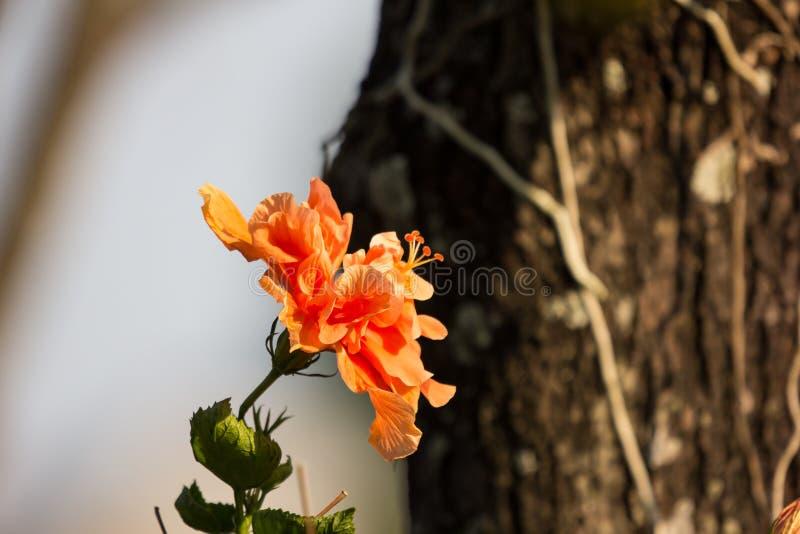 Close up of Orange Hibiscus rosa-sinensis royalty free stock image