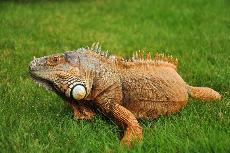 Close-up of orange iguana royalty free stock image