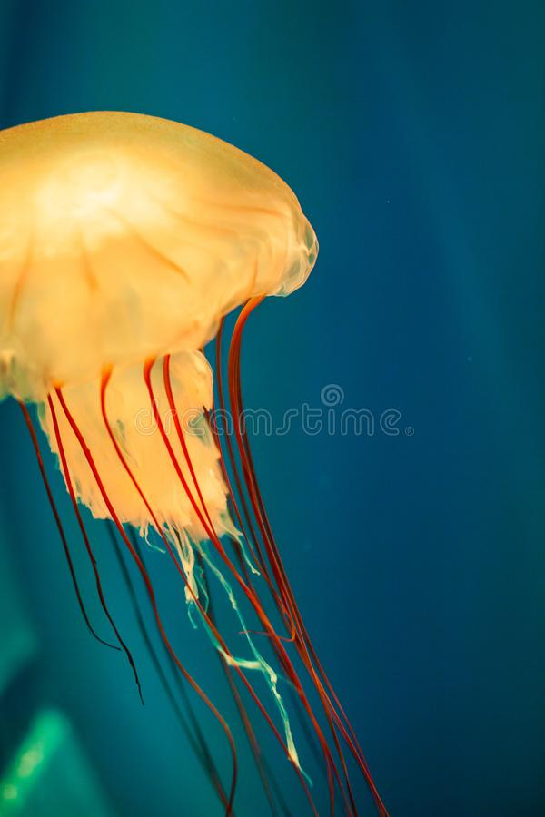Close up orange jelly fish floating in aquarium on blue sea background stock photography