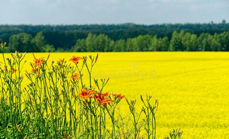 Close-up of orange lily on blurred background of bright yellow oilseed rape field. Rapeseed field with copy space stock photography