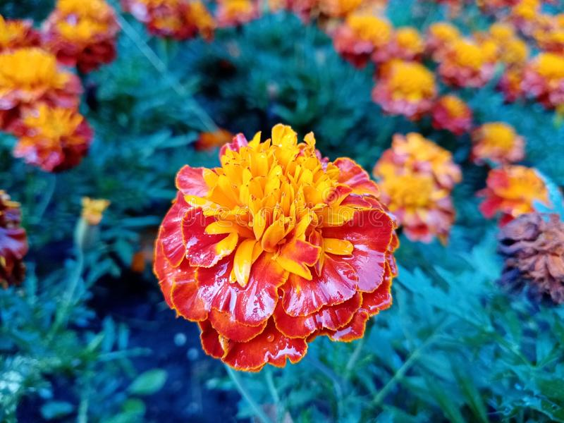 Close-up of an orange marigold flower after rain. Celebration. The day of the Dead. Mexico. Decoration. Beautiful flower royalty free stock photography