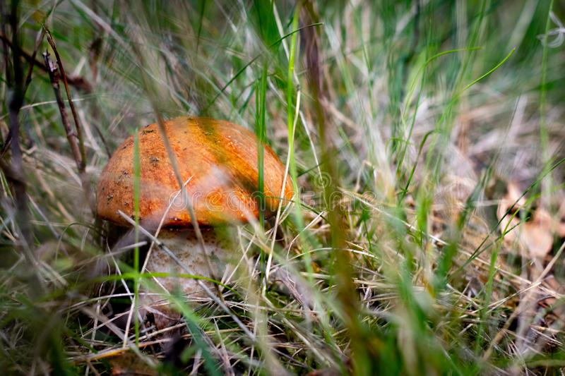 Close up of a orange mushroom on wild forest background with grass, moss and sticks. Autumn theme stock photos