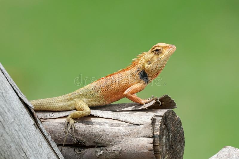 Close up of orange oriental garden lizard on a thick log royalty free stock photo