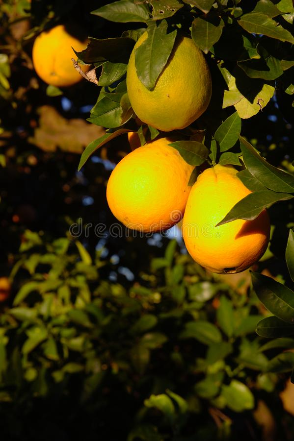 Close-up of some golden oranges by the sun royalty free stock images