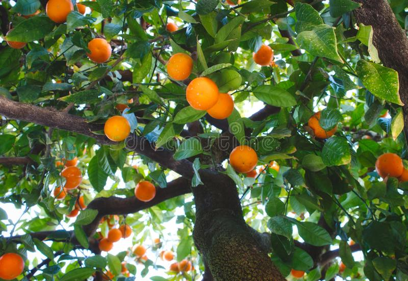 Close-up of orange tree in Seville bearing ripe fruit shot from below royalty free stock photography