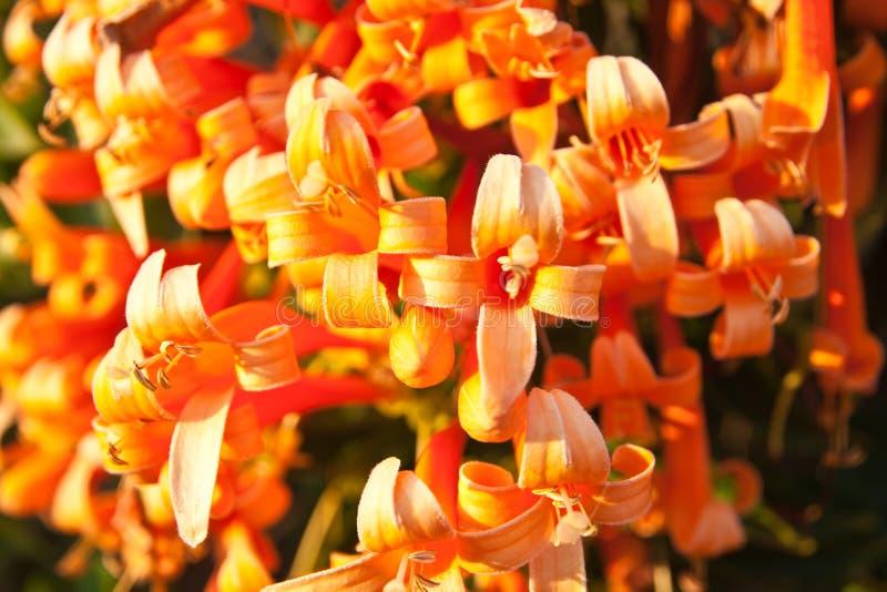 Close up Orange trumpet, Flame flower, Fire-cracker vine royalty free stock images