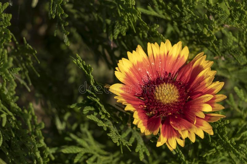Close-up of orange, yellow, red wildflowers with green background with copy space for text royalty free stock photos