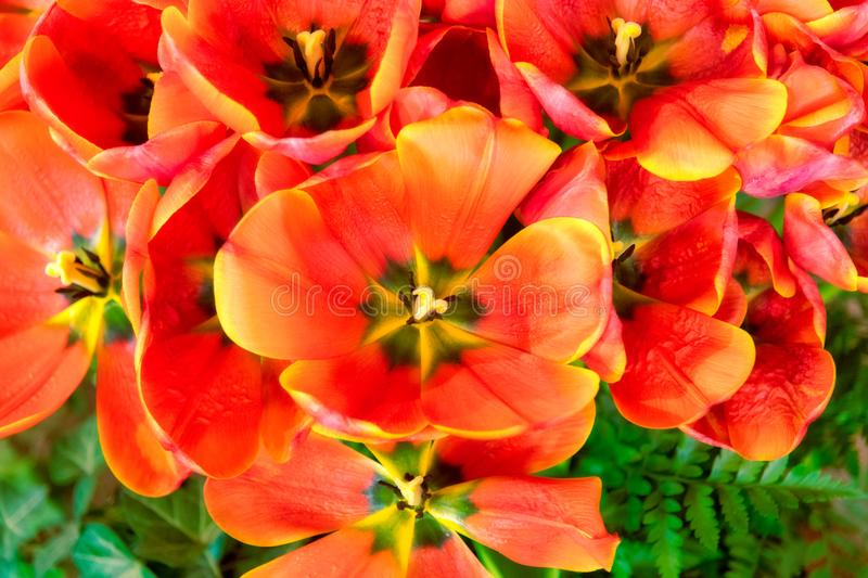 Close-up of orange and yellow tulip blossoms in full bloom stock photo