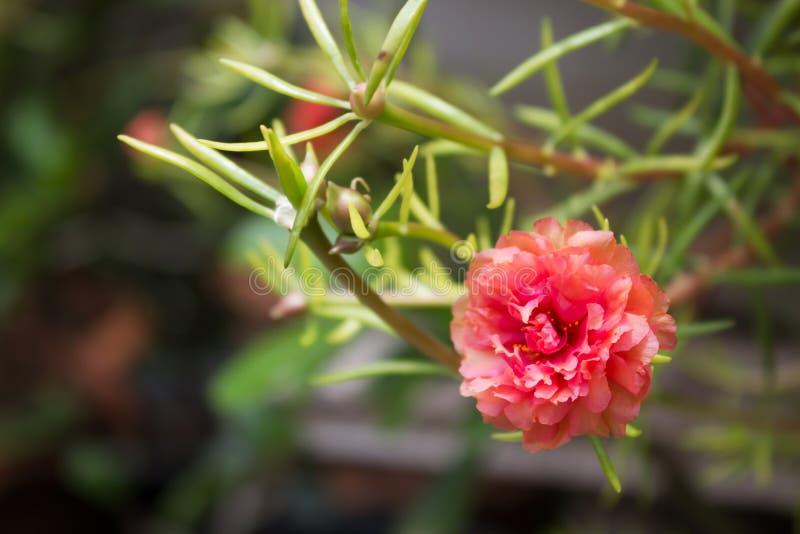 Close-up Oranje kleine bloem portulaca royalty-vrije stock afbeeldingen