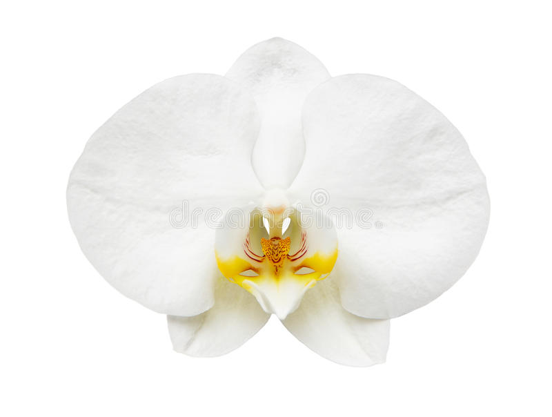 Download Close up of white orchid stock photo. Image of green - 29951326