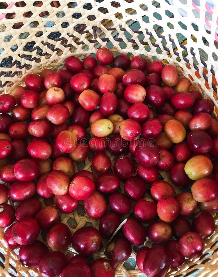 Fresh Picked Coffee Bean Fruit in a Woven Basket stock image